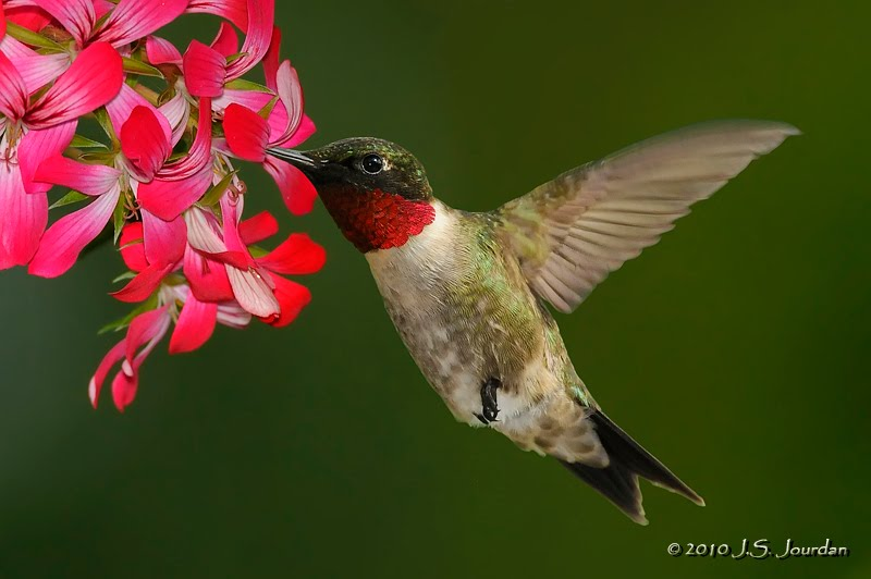 Image result for ruby-throated hummingbird michigan