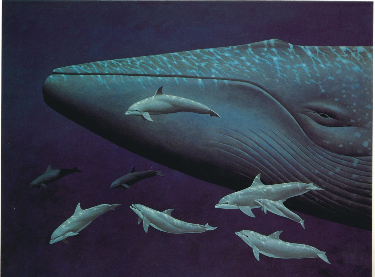Gambar Ikan Paus Raksasa, Paus Putih ~ Kumpulan Gambar Flora & Fauna