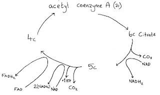 aerobic cycle