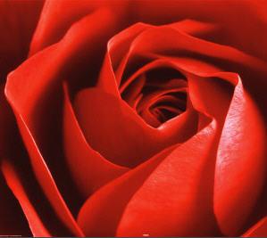 rosa del jardin divino