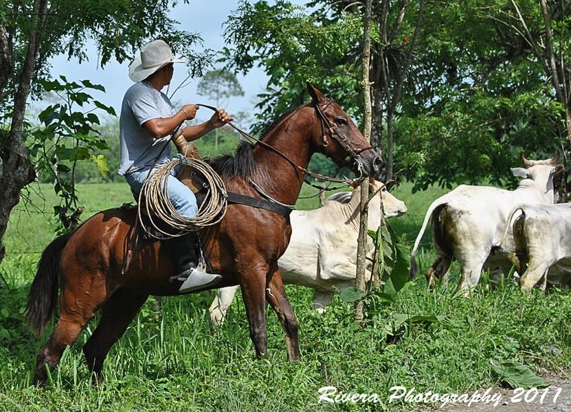Vaquero costeño de Ecuador