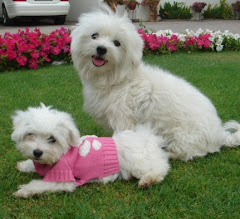 Snowy and Crystal Maltese dogs