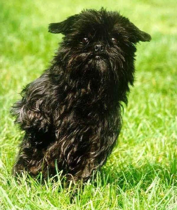Affenpinscher dog in lawn picture