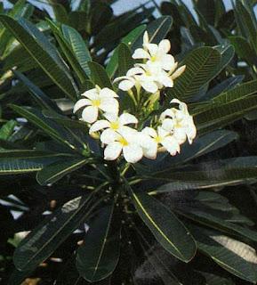 Kamboja-Plumeria rubra