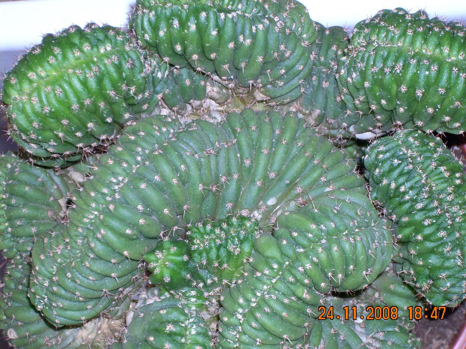 Vivero sanssouci cactus antiradiaci n for Vivero de cactus en chile