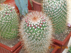 grupo de Mammillarias en botón