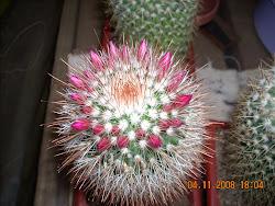 Mammillaria en botón