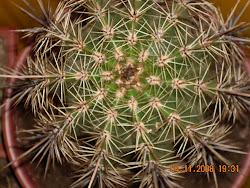 espinas maravillosas de Echinocactus