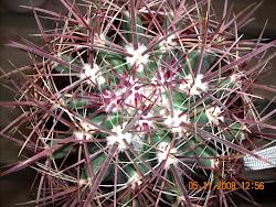 espinas enmarañadas de Ferocactus