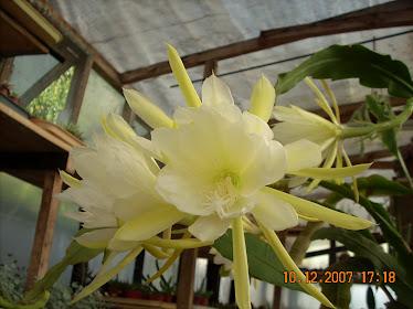 Epiphyllum Oxipétalum