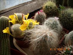 Flores de Rebutia senilis
