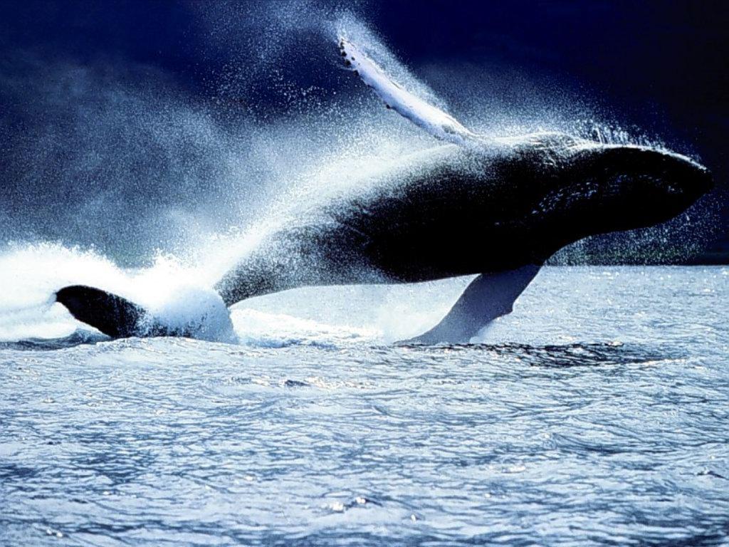 una balena megattera (wow!) dans animali grandi, grandi (wow!) balena