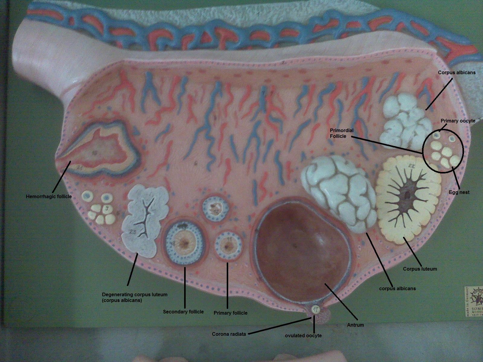 PSC: Anatomy and Physiology 2: Labeled Ovary Model
