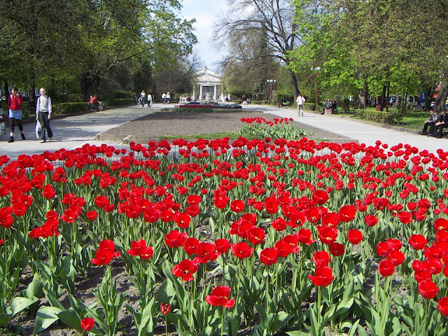 Tulips of Ternopil