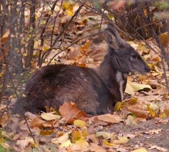 free downloding pics of musk deer wiki