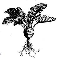 Chou-rave (Brassica oleracea caulo-rapa)