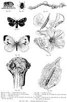 Insectes parasites des choux