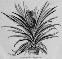 Avocat de cayenne