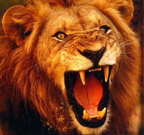 http://4.bp.blogspot.com/_v4ONm4L8Cno/S8XVR9L1bvI/AAAAAAAAAB4/xJZesn6FzoY/s1600/lion.jpg