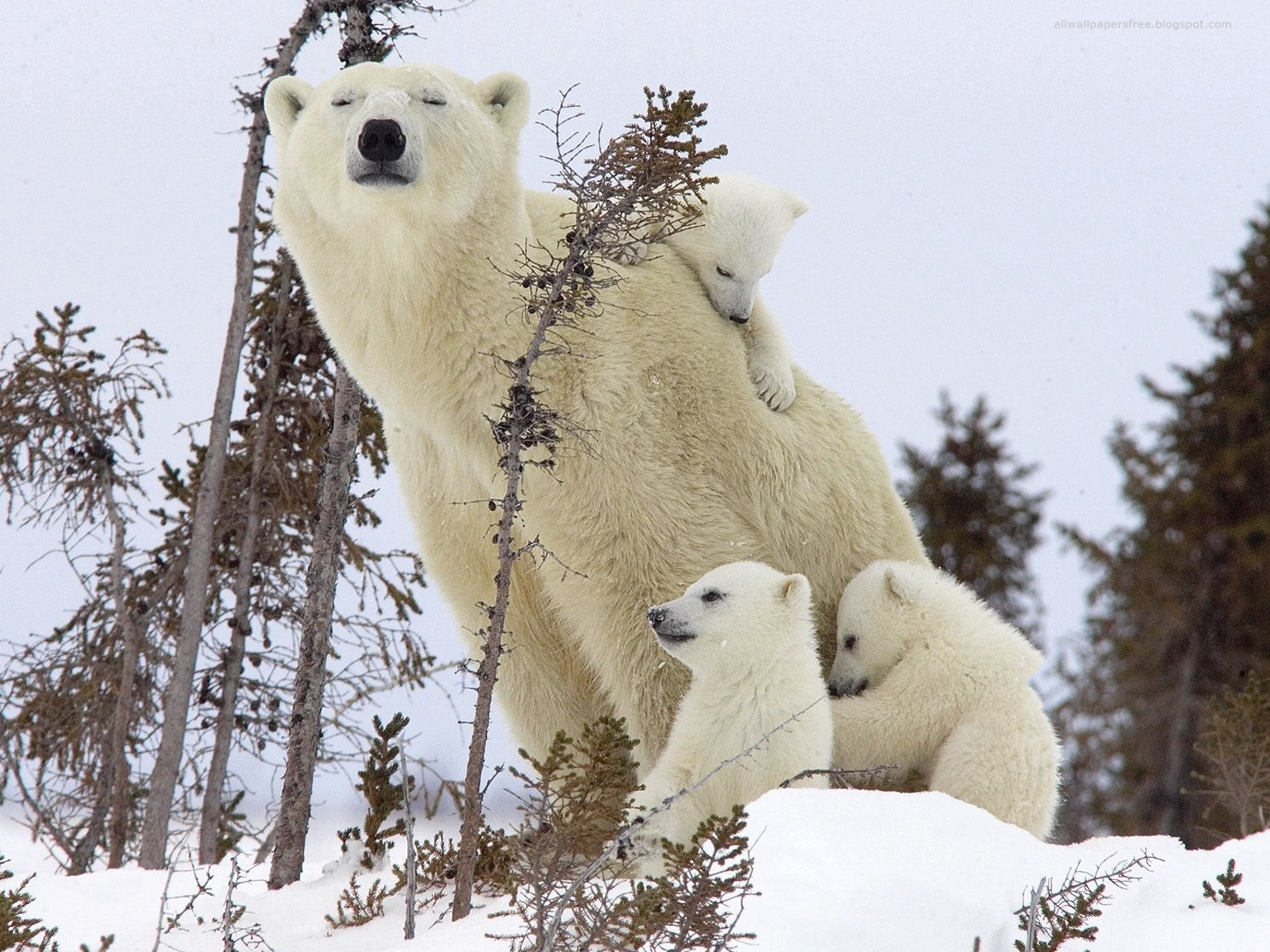 coca cola polar bears wallpaper hd the wallpaper database