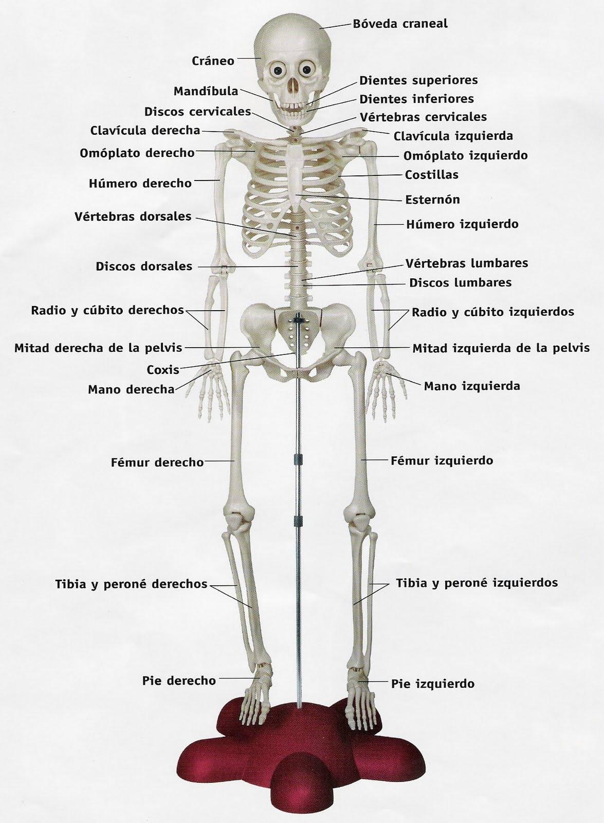 Blog del Celata Garrapata: Curiosidades del Cuerpo Humano...