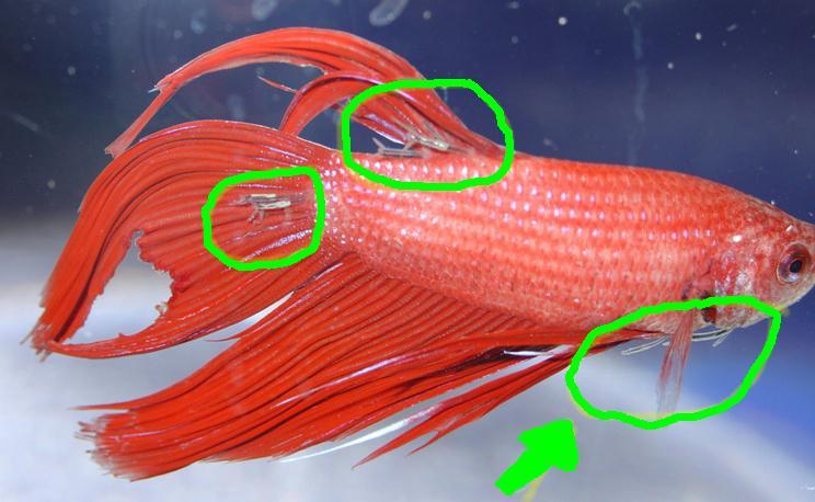 Diseases in bettas betta fish questions for Betta fish medicine