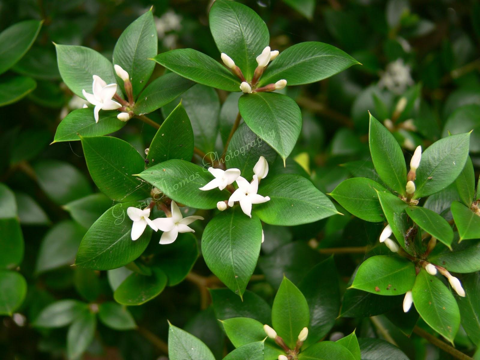 Oleander Poisonous To Dogs Australia