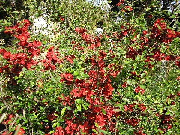Le jardin de mamie - Pommier du japon fruit ...