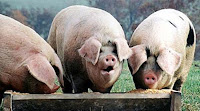 Greedy VANOC pigs