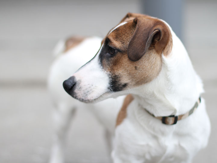 Yoshi jack russell terrier