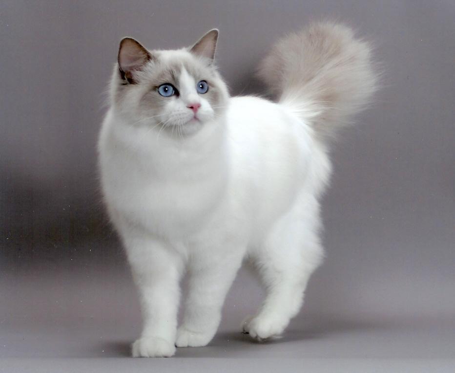 Portal de gatos: Razas de gatos: Ragdoll