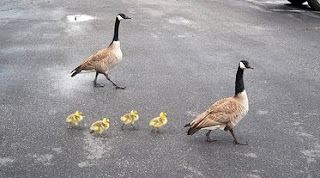 photo of two geese crossing a road with their gosslings