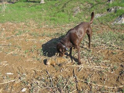 Woodchuck Hunting Dog