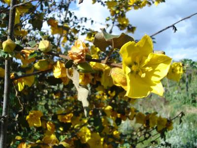 fremontidendron plant