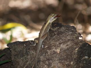 Lucertola che divora insetto
