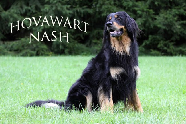 Hovawart Nash