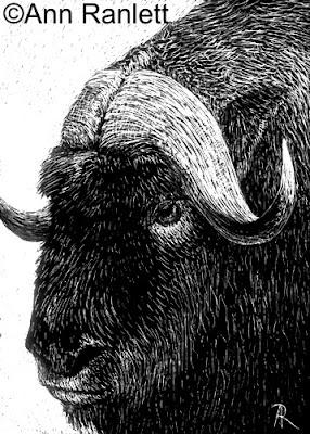 Musk Ox by Gosh - scratchboard ACEO by Ann Ranlett