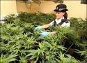 jardin de marihuana