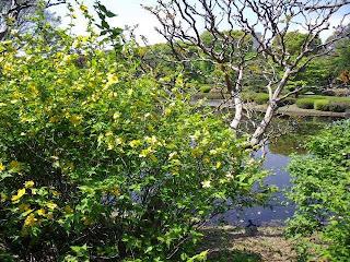 Yamabuki and Ninomaru pond