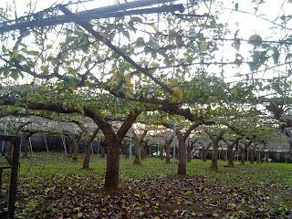 sand pear farm