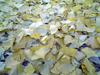 leaves of ginkgo on the ground