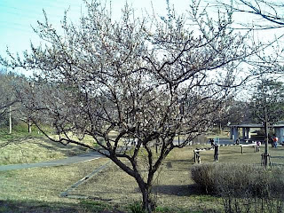 ume tree in the park