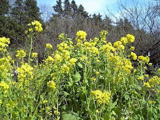 nanohana flower in spring