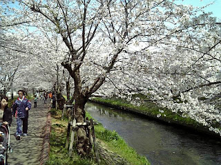 cherry blossoms along ebigawa(river)