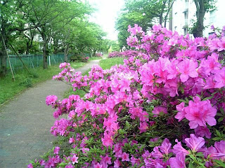 azalea by the path