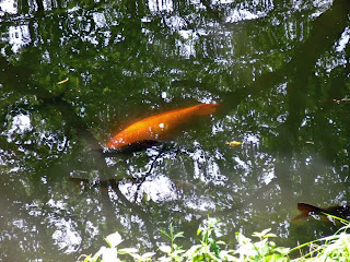 carps in the river