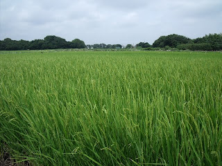 rice field by ebi-river