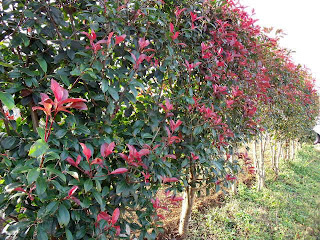Japanese Photinia in Autumn