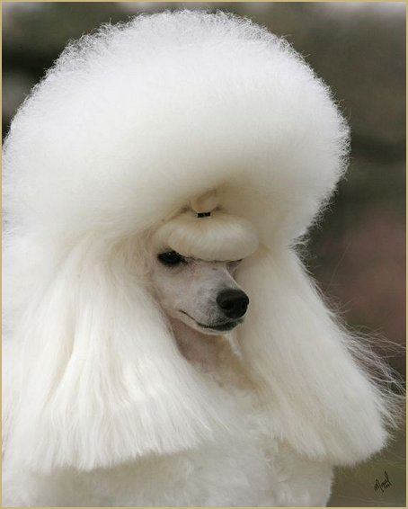 Poodle Puppies Hair Cut