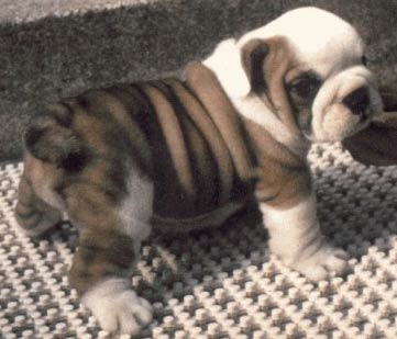 Bull  Puppies on The Bulldog Puppy Is Truly A Bundle Of Joy But Before You Decide To